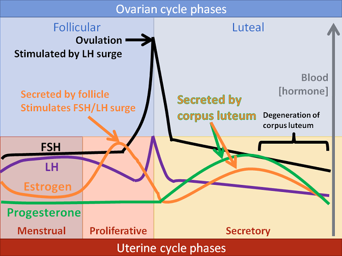 Ovarian Cycle Phases And Uterine