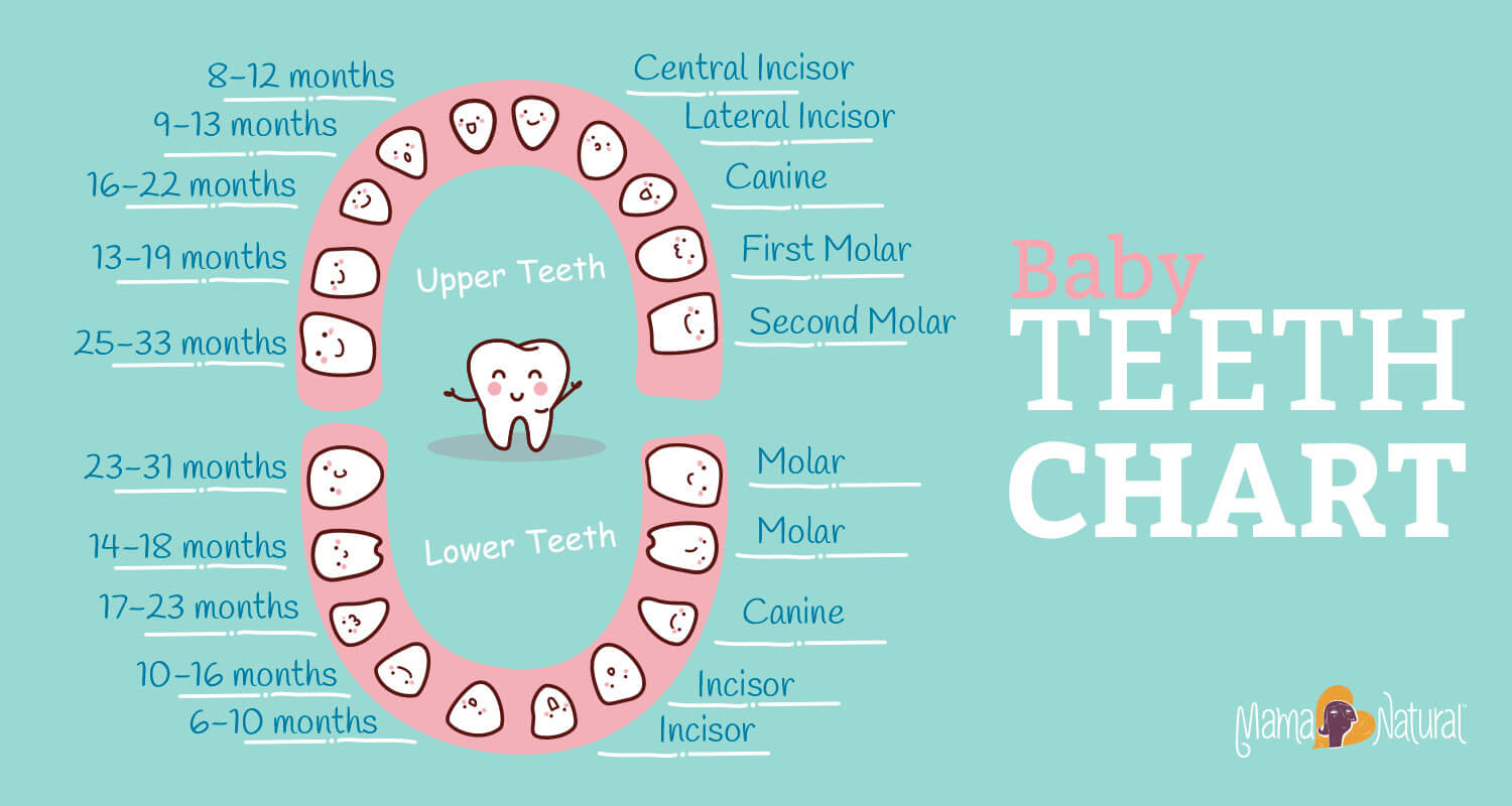 Baby teething chart what order do they come in mama natural