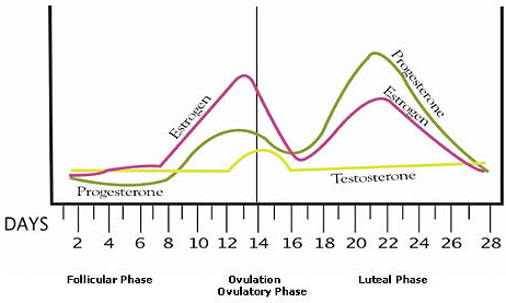 Menstrual Cycle Occurs In Three Phases Follicular Ovulatory And Luteal